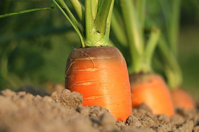 pěstování mrkví.jpg