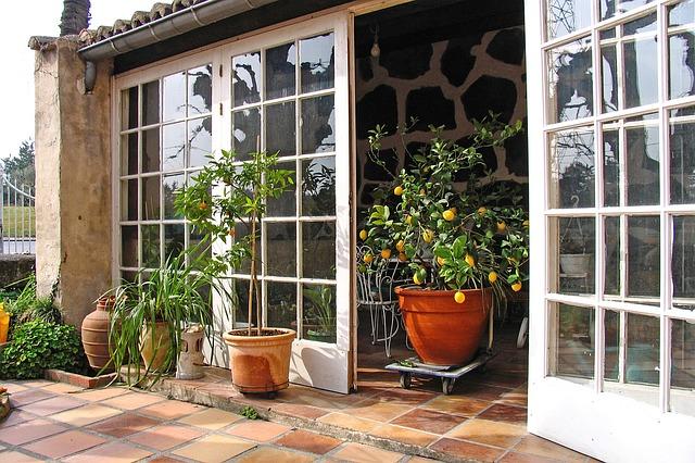 citronovník v zimní zahradě