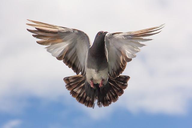letící holubice