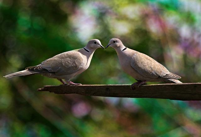 polibek holubů